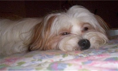 Close up head shot view level with the dogs head - A long-haired, white with red Papastzu is laying down on a bed with its sleepy eyes part way open.