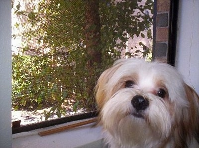 Close up head shot - A long-haired, white with red Papastzu dog standing next to a window looking towards the camera with its head slightly tilted to the right. There is a view of a tree out of the window.