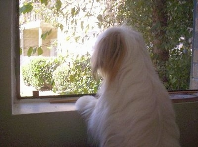 Close up head and upper body shot - The backside of a long-haired white with red Papastzu dog jumped up with its front paws on a window sill looking out of the window.