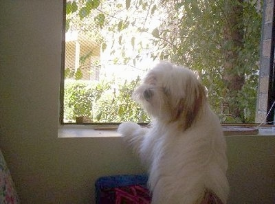 The backside of a long-haired white with red Papastzu dog jumped up with its front paws on a window sill looking to the left.
