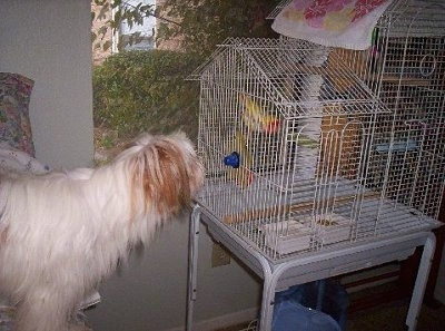 Side view - The upper half of a long-haired, white with red Papastzu dog  looking at a bird in a white bird cage in front of it.