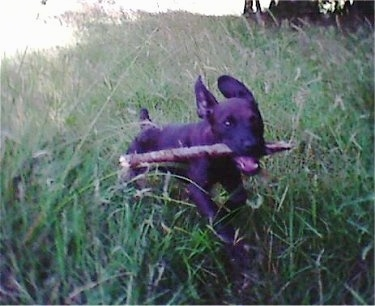 Action shot - A Patterdale Terrier puppy is running through tall grass with a stick in its mouth.