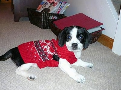 Side view - a black and white Peagle puppy is laying on a tan carpet wearing a Christmas Sweater looking at the camera.
