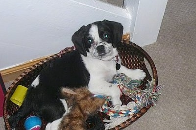A black and white Peagle puppy is laying in a brown wicker basket full of dog toys with its back against the side leaning back and looking up.
