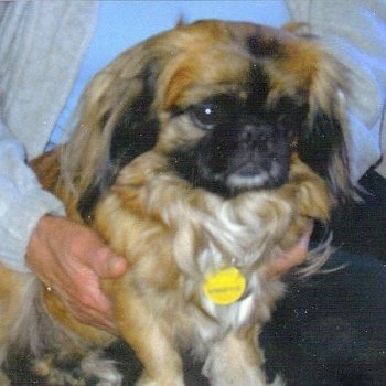 Close up front side view - A long haired tan with white and black Peke-A-Poo is sitting on a persons lap looking to the right.