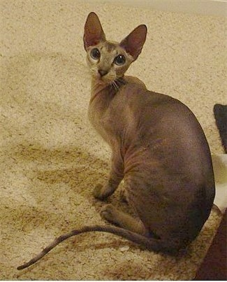 Kiwi the Peterbald Cats is sitting on a tan carpet and looking up to the camera holder with its big full round eyes
