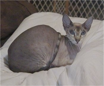Kiwi the Peterbald is laying on a pillow in a pen and looking at the camera holder with its big eyes