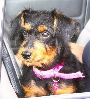 Close up front view - A scruffy looking, black with tan Pinny-Poo puppy is wearing a hot pink collar sitting in the back of a vehicle looking to the left.