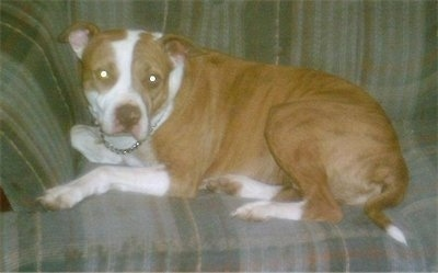 The left side of a brown with white American Pit Bull Terrier that is laying on a couch and it is looking forward.