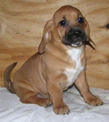 Front side view - A tan with white and black Plica puppy is sitting on a bed and it is looking to the right. There is a wooden board behind the puppy.