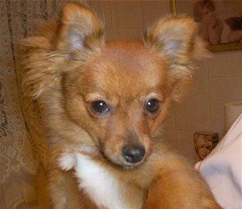 Close up head and upper body shot - A fringe perk-eared, red with white Pom-Silk puppy is being held up in the hands of a person inside of a bathroom. It is looking forward and its head is tilted down.