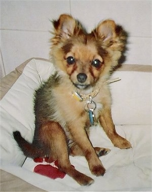 Lucy, the Pom-Silk puppy at 3 months old. (Pom / Silky Terrier hybrid)