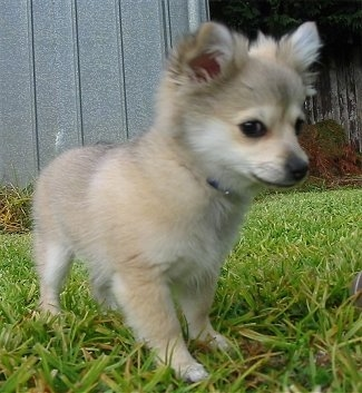 Pomeranian+chihuahua+mix+puppies+for+sale