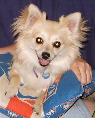 Close up front view - A fringed, perk eared tan with white Pomchi dog is laying on a blue red and white pillow that is in a persons lap.