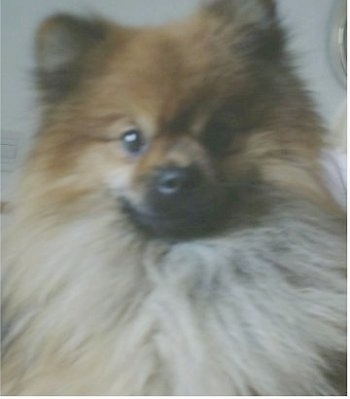 Close up head shot - A fluffy brown with white Pomeranian is looking forward.