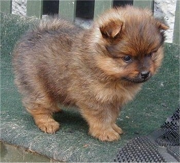 Side view - A small fuzzy brown with black Pomeranian puppy is standing on a bench and it is looking down and over the edge.
