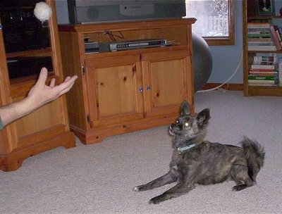 Side view - A perk-eared, black with tan and white Pomston dog is looking at a white ball that a person is throwing in the air for it to catch. There is a wooden entertainment stand with a tV on it and a very large gray exercise ball across the room.