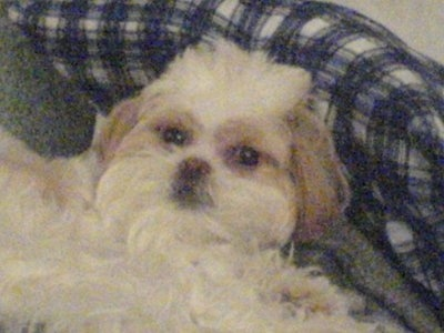Lucy-Lu is a Poochin (Toy Poodle / Japanese Chin). She is a spayed female, 2 years old in this picture