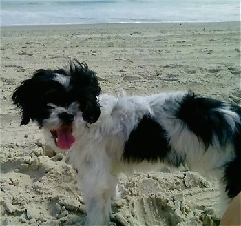 Close up side view - A black and white Poochin is standing across a sandy beach and it is looking forward. Its mouth is open and tongue is out. There is a large body of water in the distance.