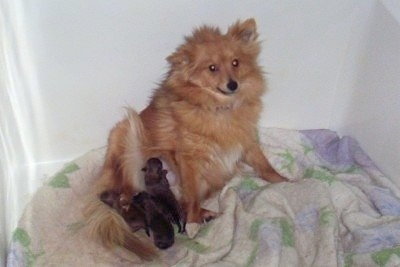 KiKi, the Poshies with her newborn litter of puppies