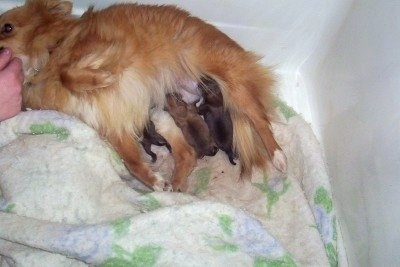 KiKi, the Poshies with her newborn litter of F1b hybrid puppies