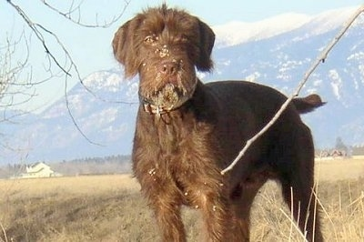 Front side view - A brown Pudelpointer dog is standing in grass and it is looking forward. There is a mountain range in the background. The dog has dirt all over its face and its tail is level with its body.
