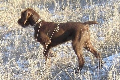 Chewie, the Pudelpointer as a puppy, pointing