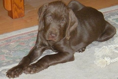 Chewie, the Pudelpointer as a young puppy