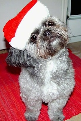 A thick, wavy-coated grey with white and black Pug-a-Poo is sitting on a red rug and it is wearing a Santas hat. It is tilting its head far to the left.