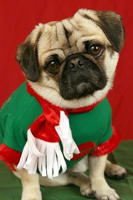 Close up - A tan with black wrinkly faced Puginese dog is sitting on a green stand and it is looking forward. Its head is tilted to the left. It is wearing a christmas sweater and there is a red backdrop behind it.
