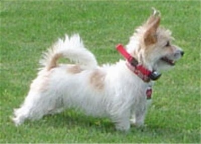 Right Profile - A shaggy white with tan Rashon dog is standing in grass and it is looking to the right. Its mouth is open.