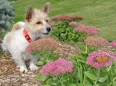 A soft, shaggy looking white with tan Rashon dog is laying in a garden looking towards the purple flowers at a butterfly.