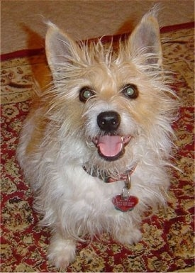 Top down view of a scruffy looking white with tan Rashon dog that is sitting on a rug and looking up. It is panting and it looks like it is smiling.
