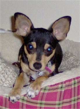 Front view - A black with tan and white Rat-Cha puppy is laying on a pink plaid dog bed looking forward. It has large perk ears.