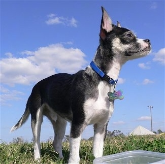 The front right side of a shorthaired, black with white Rat-Cha that is standing in grass and it is looking to the right. There is a plastic bowl in front of it. The dog has perk ears that stand straight up.