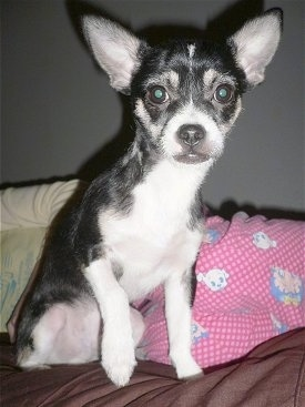 Close up front view - A black with white Rat-Cha dog is sitting on a bed looking forward. Its left paw is being held up in the air.
