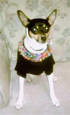 Front view - a white with black and tan Rat Terrier dog is wearing a black shirt and a colorful lai sitting on a tan floral print couch looking forward. It has large perk ears that are set wide apart.