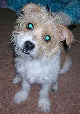 Close up front view - A wiry looking, white and tan Ratshi Terrier dog is sitting on a brown carpet looking up. Its head is slightly tilted to the right and its eyes are glowing green.