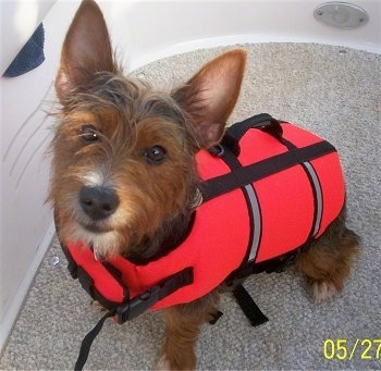 Close up - A brown and black with white Ratshire Terrier is sitting in a boat on a carpet wearing a red life vest looking up.