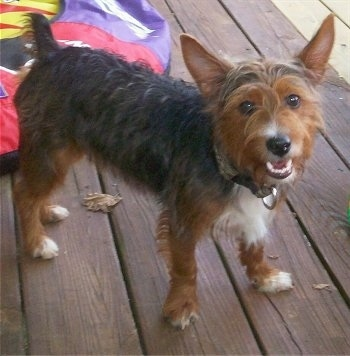The front left side of a scruffy looking brown and black with white Ratshire Terrier that is standing on a hardwood porch. It is looking forward, its mouth is open and it looks like it is smiling.