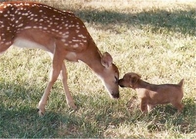 A Female Rustralian Terrier puppy is sniffing the face of a baby deer with spots that is standing in front of it.