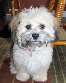 Shih  Puppies on Shih Poo Pictures And Photos Hybrid Dogs  1