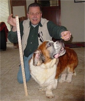 A wide, short legged brown with white and black Saint Bernard/Sussex Spaniel mix breed dog is standing on a tan carpet and it is trying to get an treat from a smiling man's hand who is kneeling down behind it. The man is holding a yardstick next to the dog.
