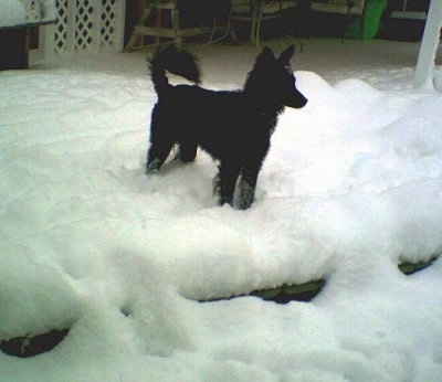 A black Schipper-Poo is standing outside in snow and it is looking to the right. Its tail is curled up over its back.