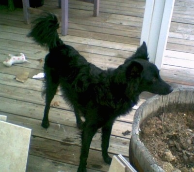 Front side view - The front right of a black Schipper-Poo that is standing on a wooden porch and behind it is a small wooden barrel with dirt in it. The dog has longer hair on its tail and longer fringe  hair under its belly and on its legs.