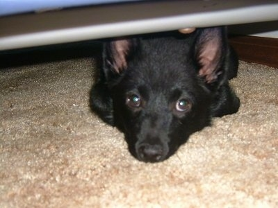 Front view - A small perk eared, black Schipperke is laying under a table, it is laying on a tan carpet and it is looking forward.