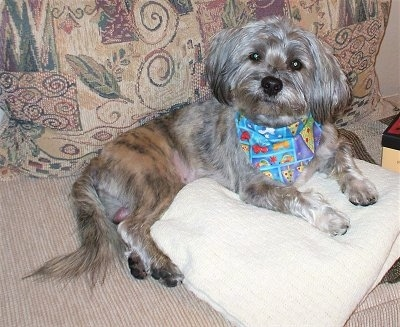 A brindle grey and tan with black Schnau-Tzu dog is wearing a colorful bandanna laying across a tan couch and partially on top of a white pillow. There are tan pillows behind the dog. It is looking forward and its head is slightly tilted to the right.