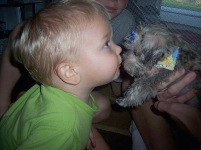 A toddler sized boy in a lime green shirt is face to face with a tiny tan with black Schnese puppy that a person is holding. The puppy is being held in the air towards the kids face. The Schnese is wearing a blue bow and a multi-colored bandana.