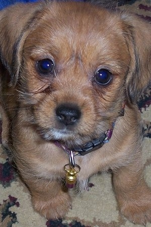 shih tzu dachshund shih tzu mixed with dachshund 8551