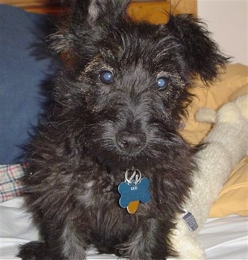 Gus, the Scoodle (Poodle / Scottie hybrid) at 7 months old before his hair cut